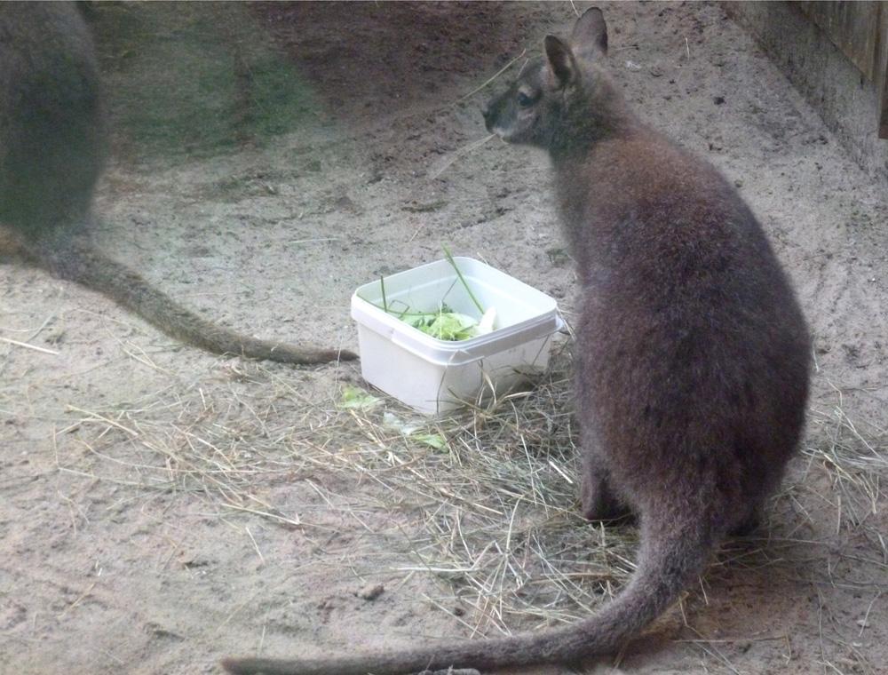 Bennett-Kängurus in Rastede
