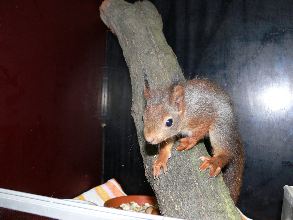 Eichhörnchen in der Wildtierstation.