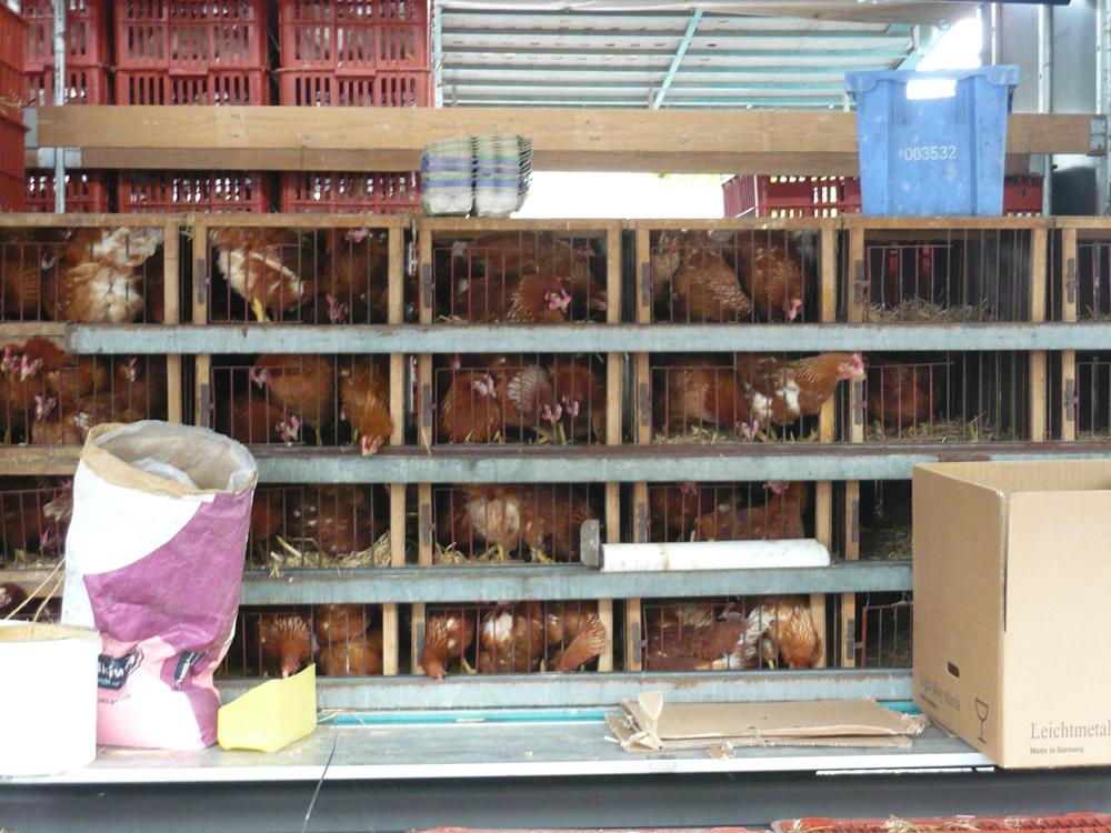 Hühner auf einem deutschen Tiermarkt