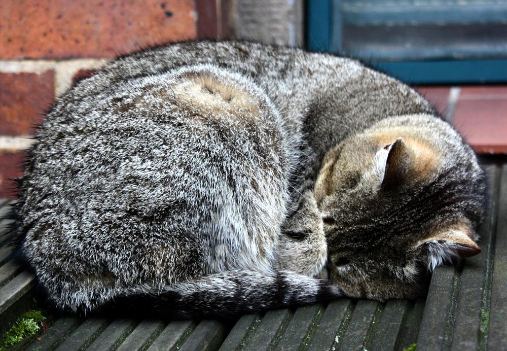 Schlafende Katze.
