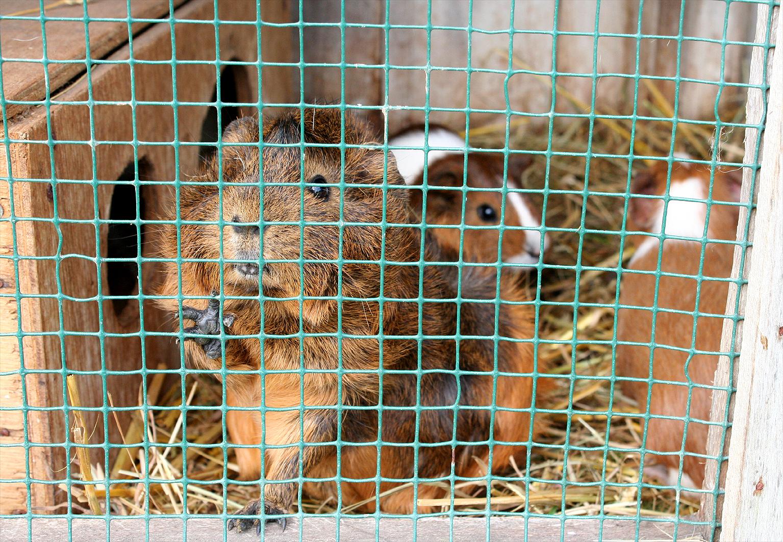 Meerschweinchen in einem viel zu kleinen Käfig