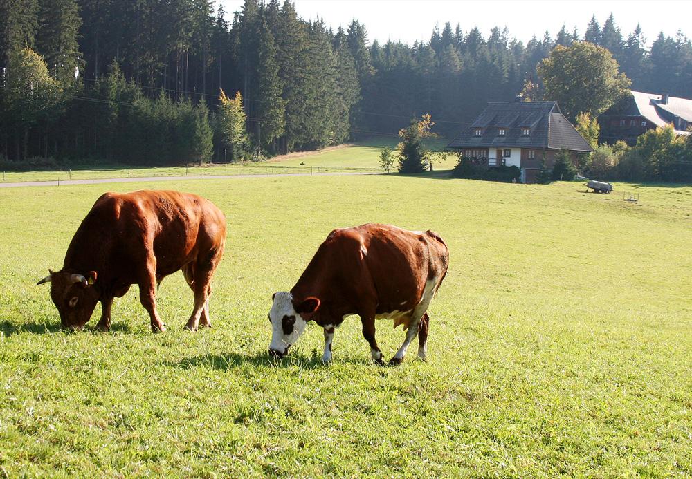 Rinder sind paarhufige Säugetiere und gehören zur Familie der Hornträger (Bovidae).