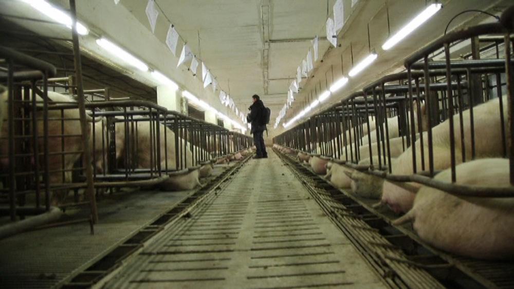 500 Zuchtsauen leben heute im Schweinehochhaus