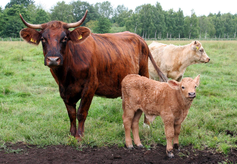 Kühe Mit Löchern Im Bauch
