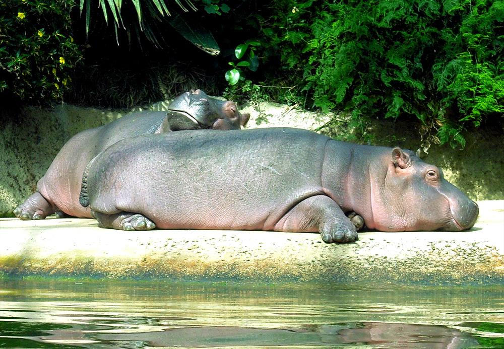 Flusspferde (Hippopotamus amphibius)
