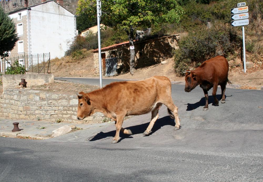 Rinder laufen auch in den Dörfern teilweise frei herum