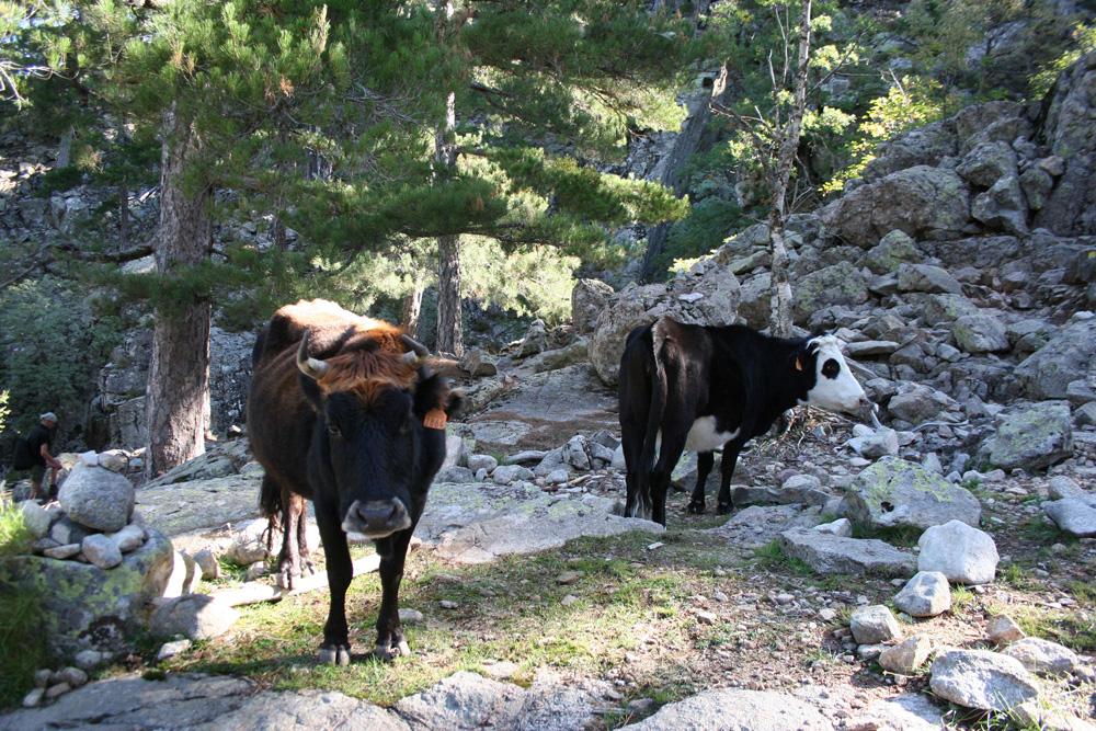 Rinder auf Korsika