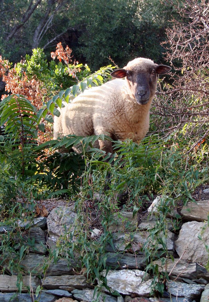 Schaf auf Korsika