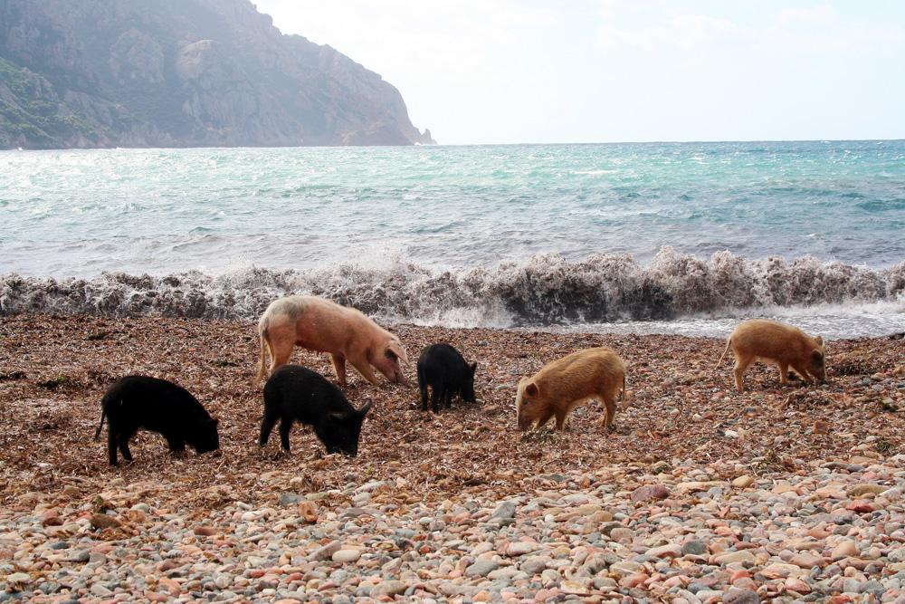 Mutterschwein mit Frischlingen
